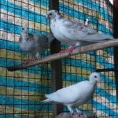 銘記越南美食, 環境, 飼養間, 鴿子