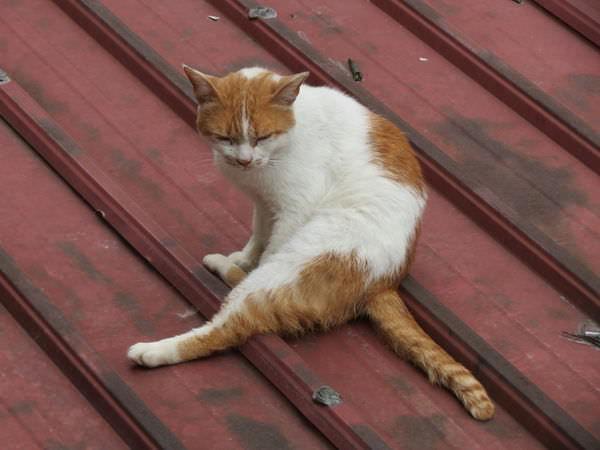 石碇許家手工麵線, 小貓