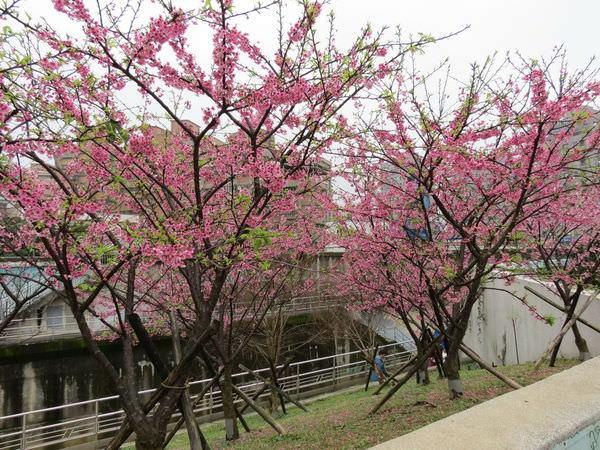 內溝溪自然生態步道, 樂活公園, 第一區, 寒櫻