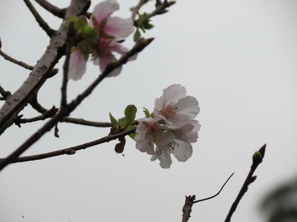 內溝溪自然生態步道, 樂康步道, 櫻花