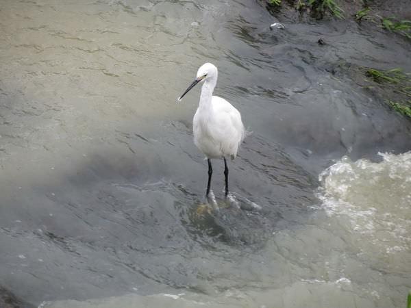 內溝溪自然生態步道, 宗喀巴佛學會, 鷺鷥
