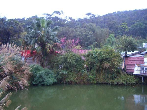 內湖採草莓 08-附近的住家,我覺得這地方超讚,前有櫻花、竹子、小湖