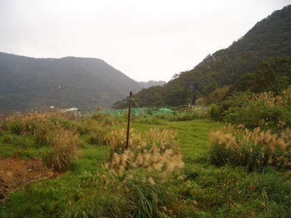 內湖採草莓 09-附近的景色,管芒花已是尾季