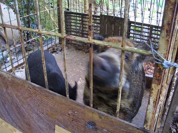 內湖採草莓 32-另一條小徑上的養豬人家,熱情的豬
