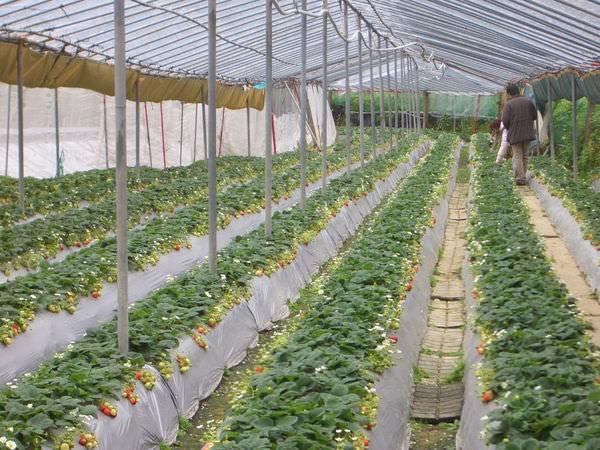 內湖採草莓 36-草莓園