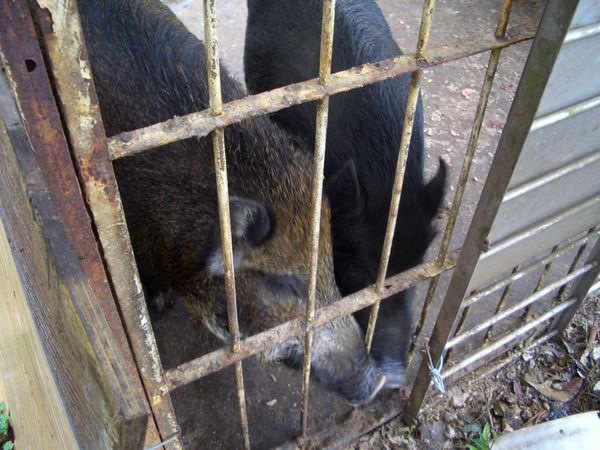 內湖採草莓 33-另一條小徑上的養豬人家,熱情的豬
