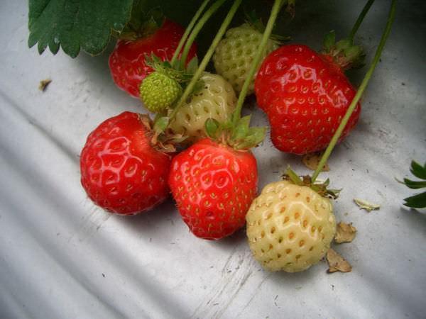 內湖採草莓 43-可愛的草莓