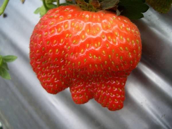 內湖採草莓 46-引起大家好奇的草莓,同時也是登上精選部落格時的照片