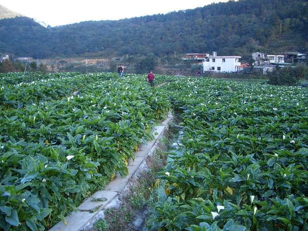 陽明山竹子湖 03-旁邊的海芋田
