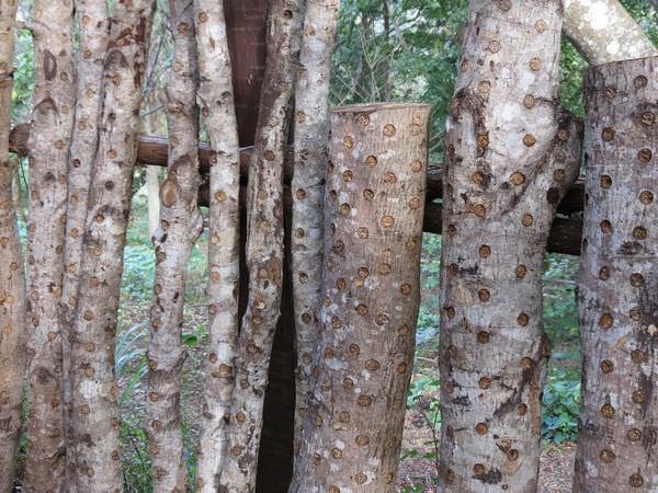 比亞外部落, 桃園縣, 復興鄉, 段木香菇