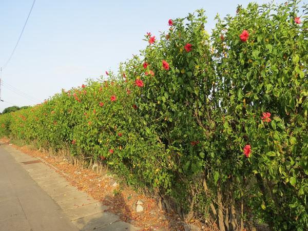 朱槿圍牆, 新竹縣, 新豐鄉