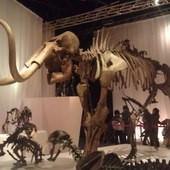 冰原奇跡-史前巨獸.長毛象特展, 劍齒虎化石.長毛象化石