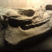 冰原奇跡-史前巨獸.長毛象特展, 犀牛化石