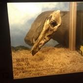冰原奇跡-史前巨獸.長毛象特展, 豬頭骨化石