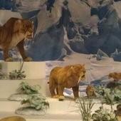 冰原奇跡-史前巨獸.長毛象特展, 劍齒虎