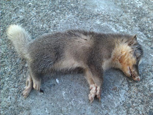 南港發現鼬獾屍體記