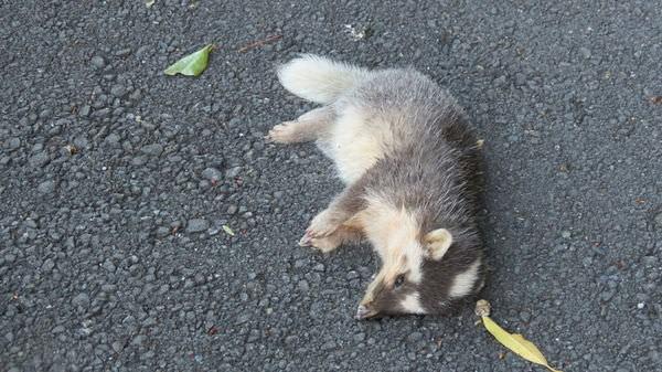 鹿窟, 鼬獾