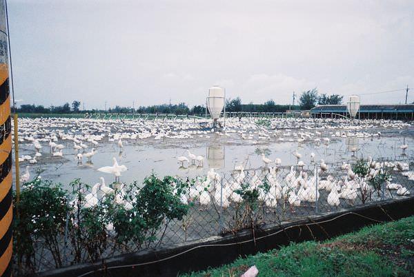 2005年環島, day2, 養鵝人家