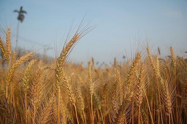 台中大雅小麥