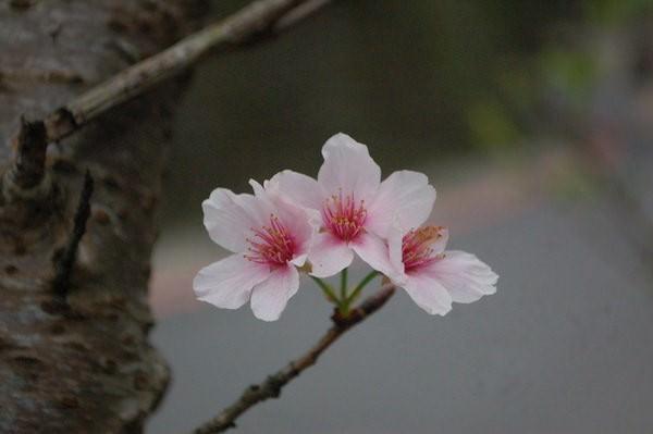 櫻花, 石碇老街(不見天街)