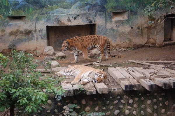 孟加拉虎, 新竹市立動物園