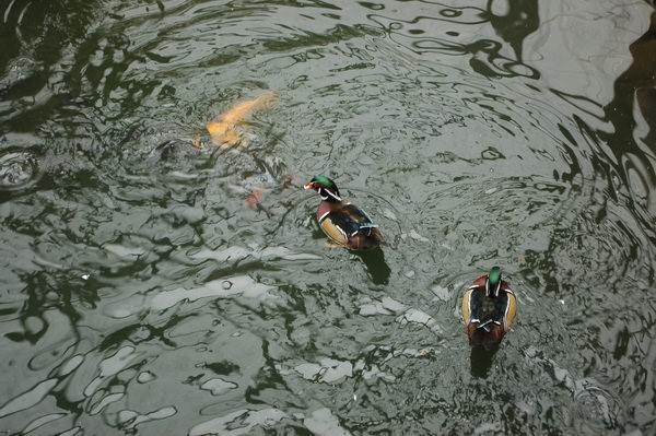 美洲木鴨, 新竹市立動物園