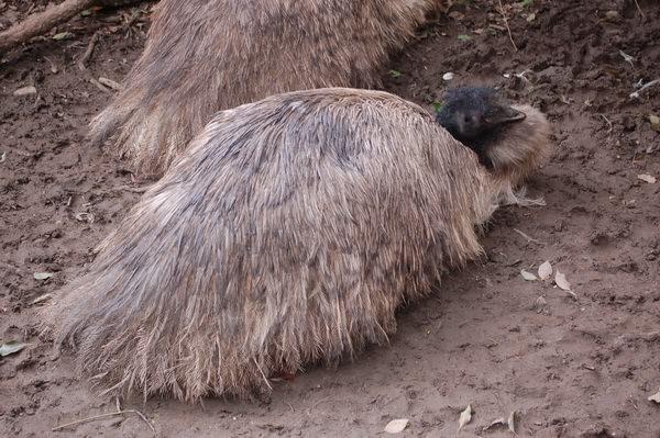 鴯鶓, 新竹市立動物園
