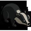 Amur Badger 阿穆爾獾