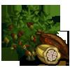 Cocoa Tree 可可樹