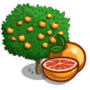 Star Ruby Grapefruit Tree