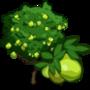 Guava Tree 番石榴樹(芭樂樹)