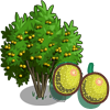 Yellow Passion Fruit Tree