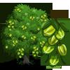 Arjuna Tree 三果木
