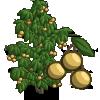 Longan Tree 龍眼樹