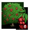 Lychee Tree 荔枝樹