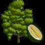 Durian Tree 榴蓮樹