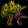 Olive Tree 橄欖樹