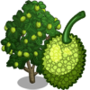 Breadfruit Tree 麵包樹