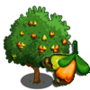 Cashew Tree 腰果樹