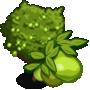 Ruby Guava Tree