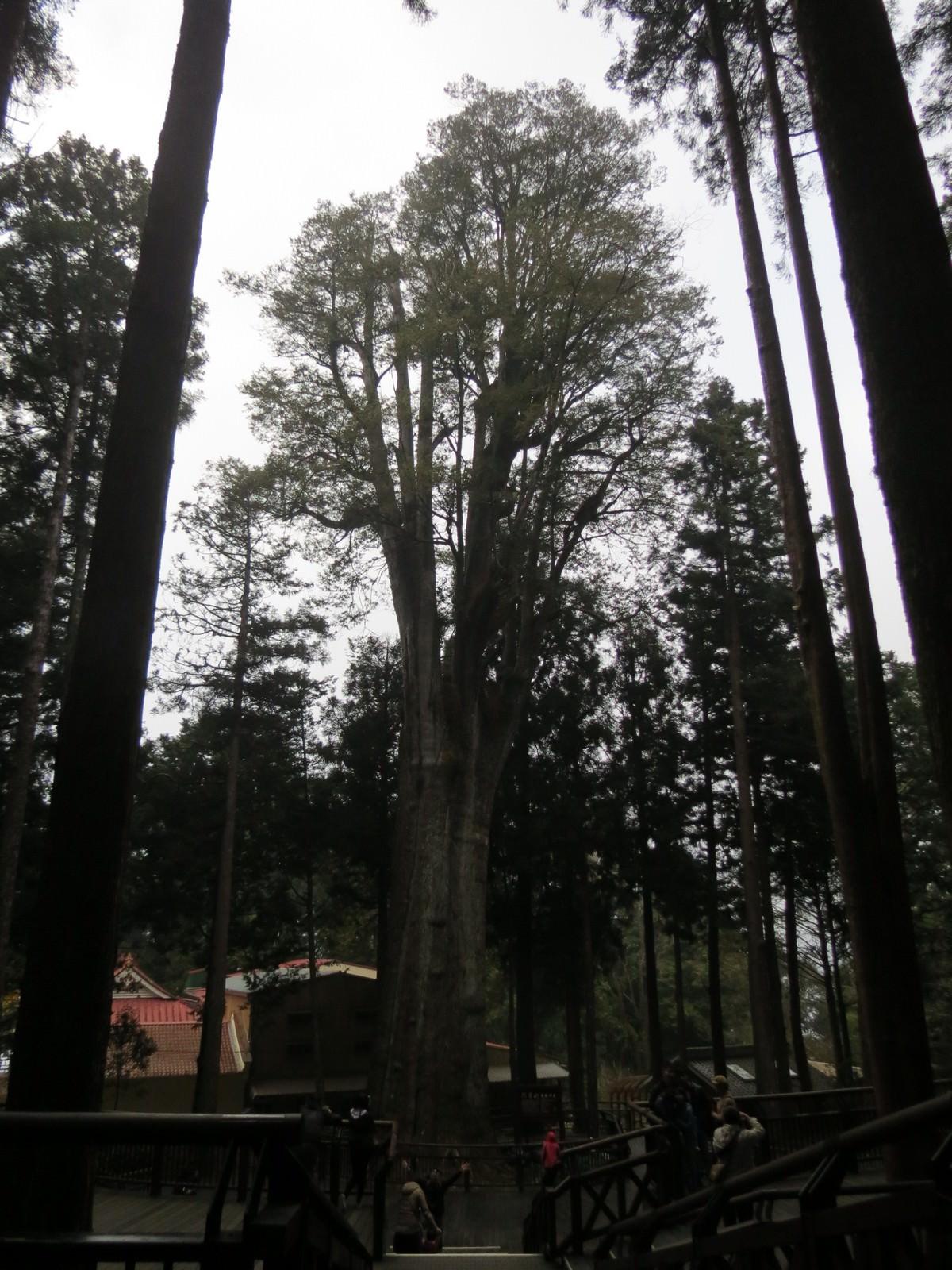 阿里山國家風景區, 香林神木
