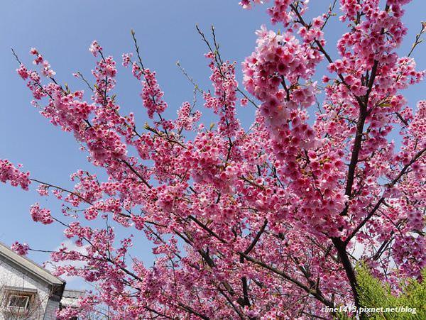 ▌北部賞櫻▌浪漫指數破表♥陽明山平菁街42巷♥粉紅佳人炸開了(1/29花況)