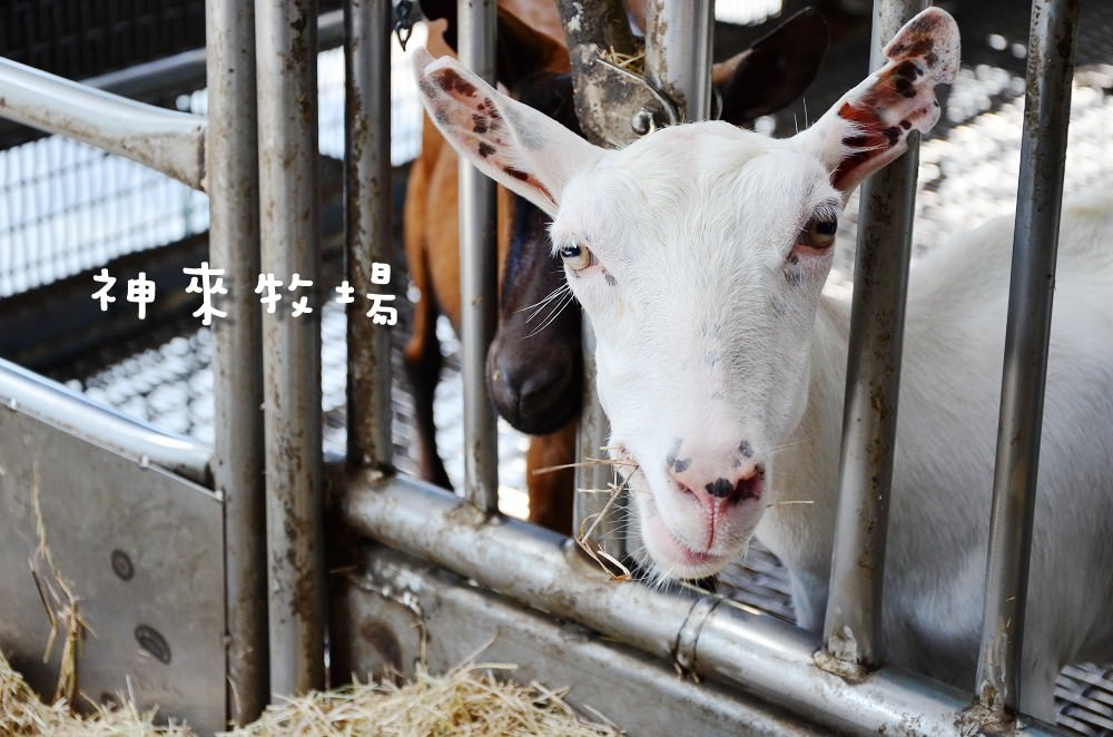 田中景點_神來牧場│親子好去處,上百隻羊盯著你!還有超濃郁的羊奶冰喔!