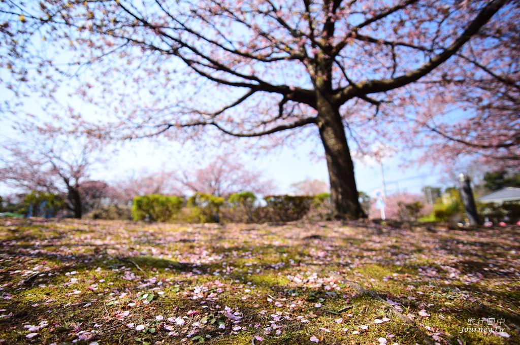 伊豆,伊豆景點,櫻花,伊豆櫻花