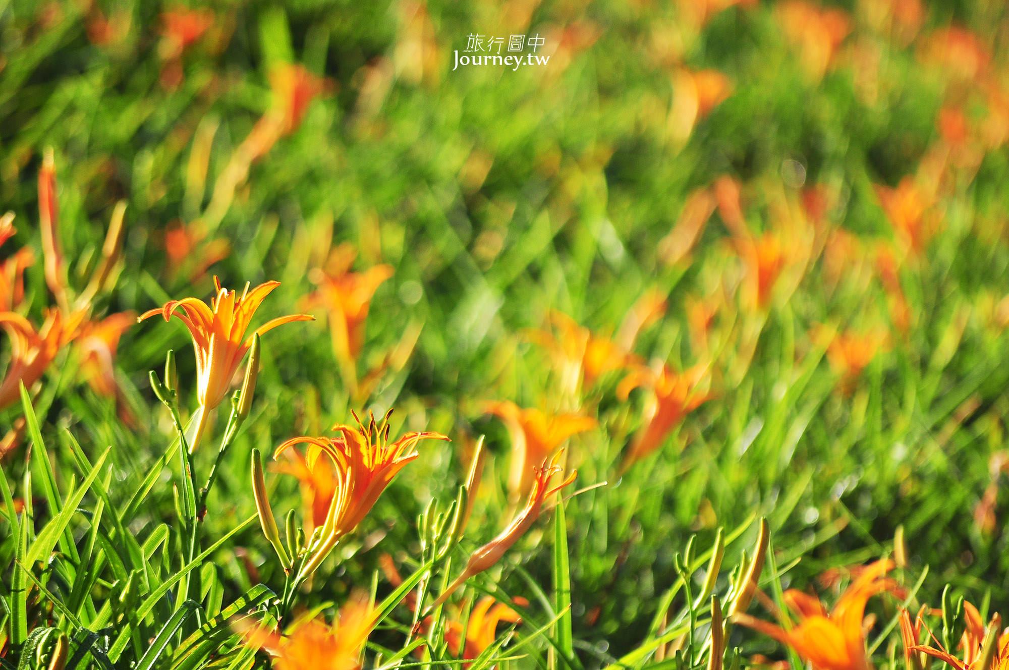 花蓮,花蓮景點,金針花,富里鄉,六十石山