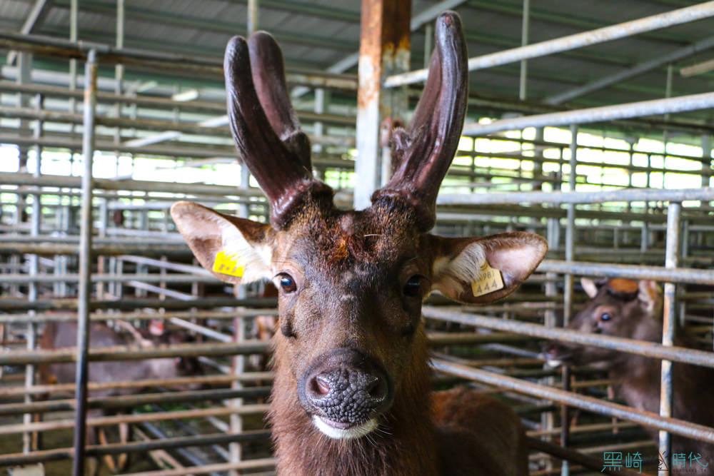 親子南投鹿場小旅行體驗鹿農的日常 原來鹿茸都是…… 這樣來的