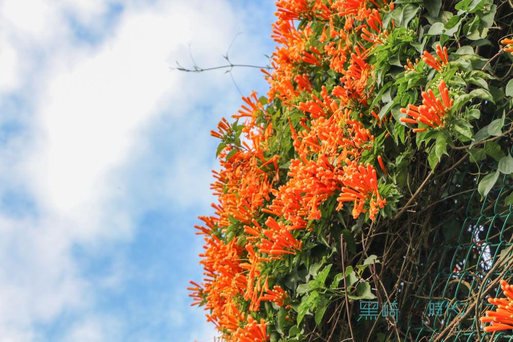 台北炮仗花秘境 春季花卉最美的橘海