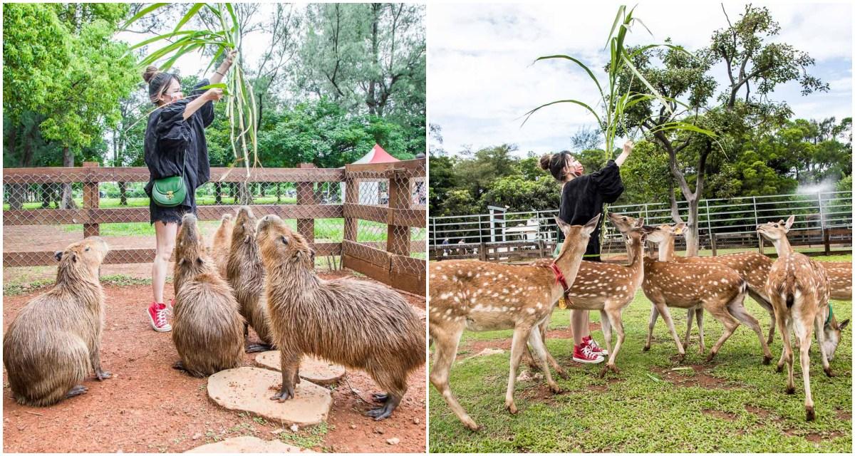 [桃園景點]埔心牧場/來跟超可愛水豚互動!暖暮萌萌村超萌村民大集合,水豚、梅花鹿、羊駝一次玩!