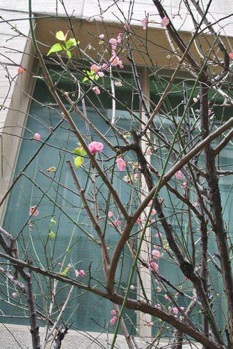 今年的梅花綻放了,歡迎賞梅