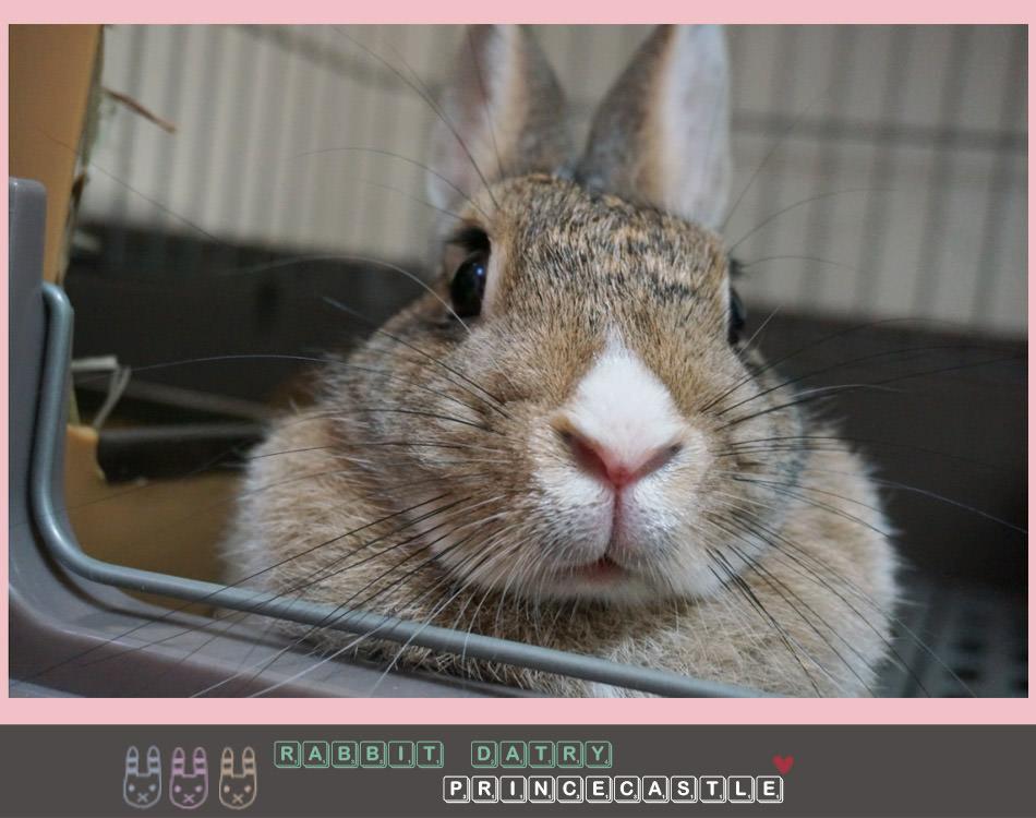 (中途褓姆日記)關於兔子的兩三事-拇指姑娘超療癒❤